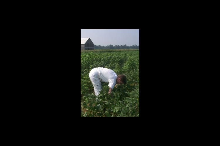 Sara McNulty picks edamames (green edible soybeans) from a field in Daviess County.
