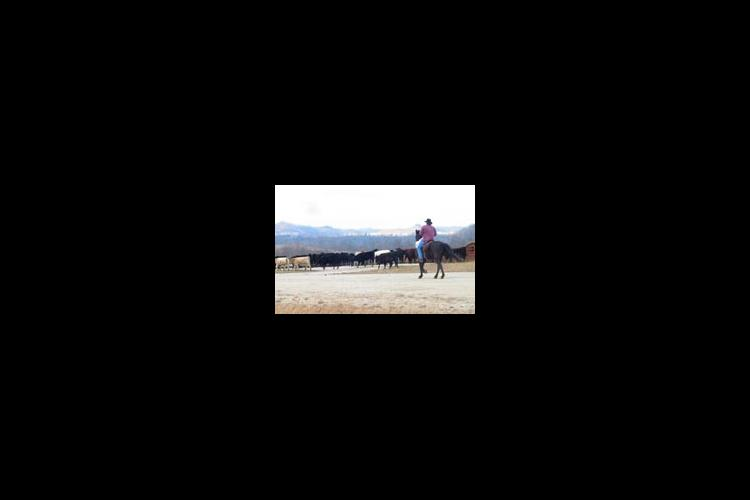 person on horse with cattle