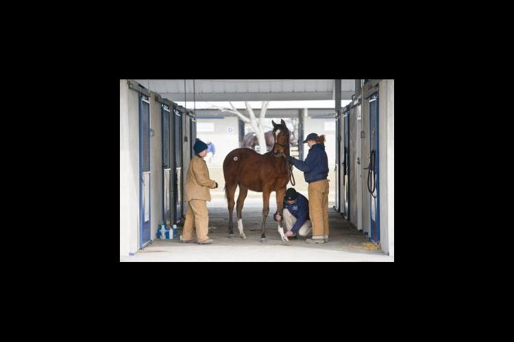UK equine science and management students groom horses for a Fasig-Tipton sale.