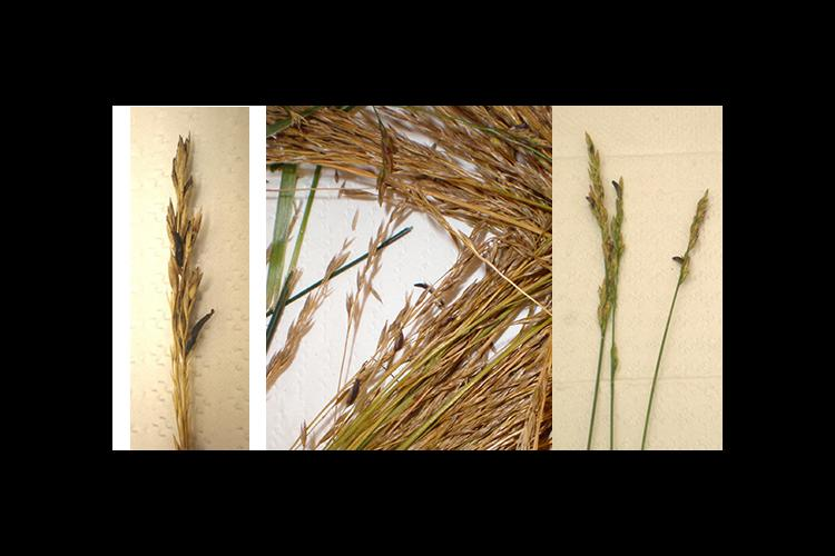 Ergot bodies resemble mouse droppings and form in the place of healthy seed of many cereal grains.