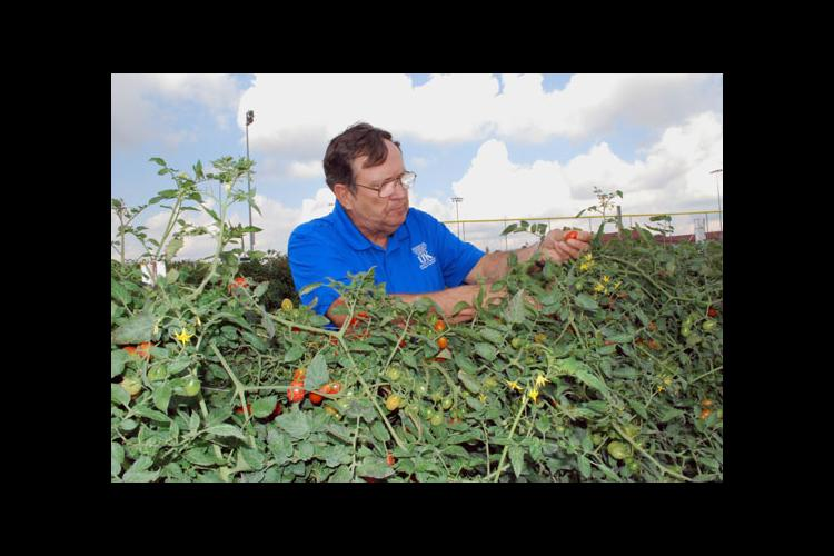 Glen Roberts, Wayne County agriculture extension agent, harvests grape tomatoes in the garden at Wayne County High School.
