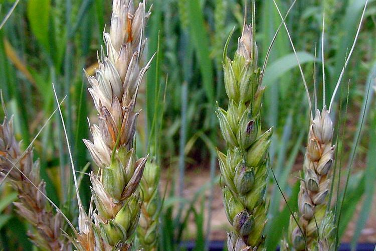 "Fusarium head blight ""head scab"" on wheat"