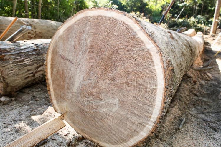 Felled tree in Kentucky forest.