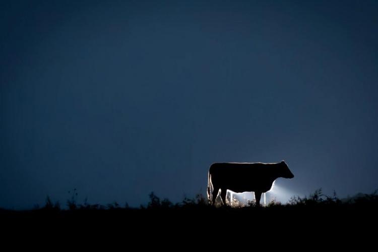 cow black