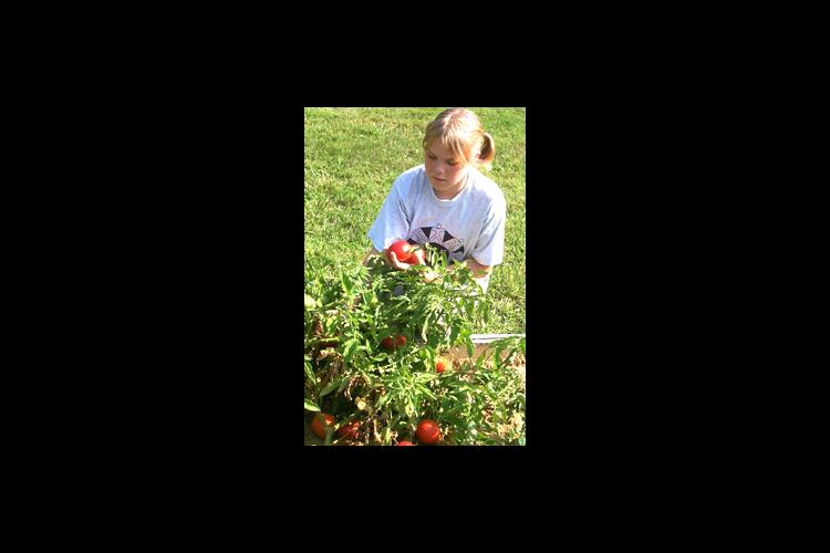 Kayla Clark, 12, harvests tomatoes from the Seeds of Hope, Harvest of Pride Community Garden at the Browning Springs Housing Complex in Madisonville.
