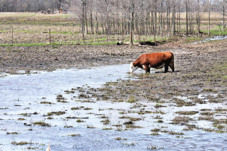 cow, mud, water