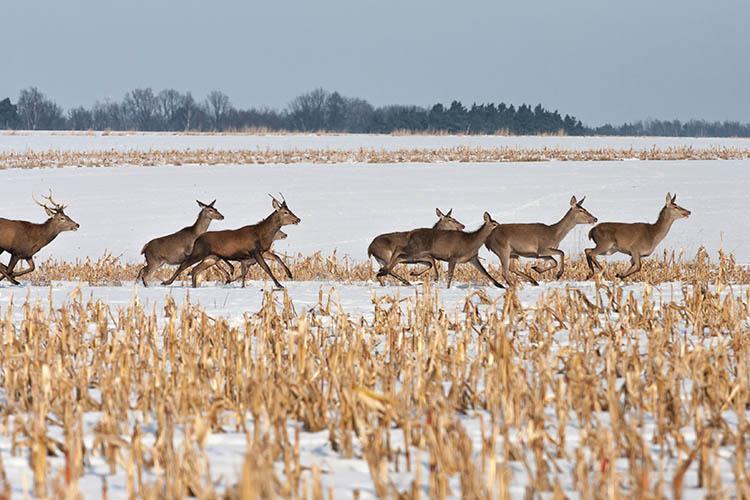 Deer running across a farm field