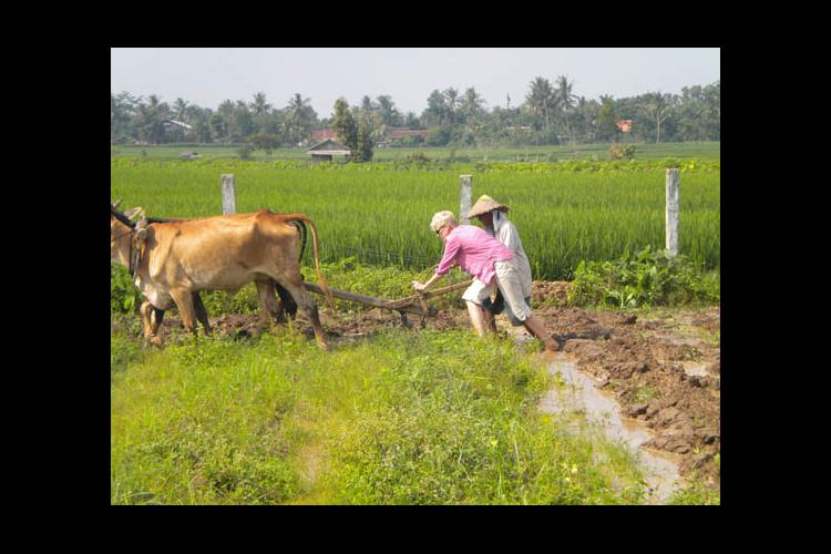 Carol Hanley throws her back into plowing an Indonesian rice paddy.