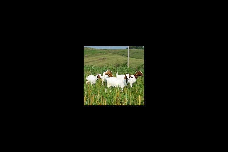 Goats graze Sorghum Sudan on Tim Burton's farm in Pulaski Co.