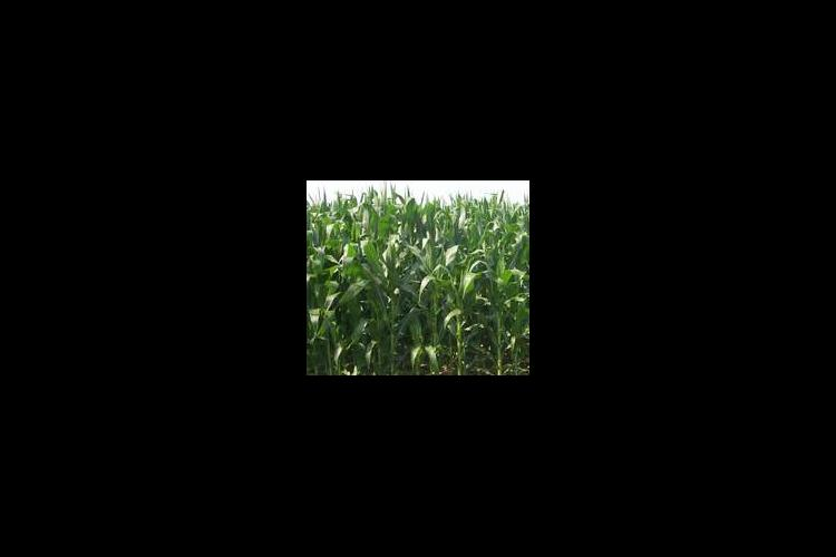 Weather has played a role in corn showing uneven growth in fields this year.