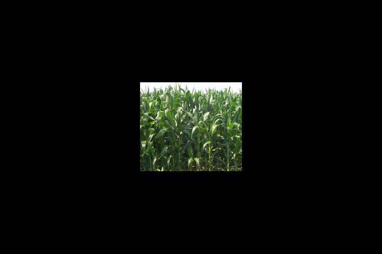Any increase in Bt corn production in 2002 will depend on whether a farmers' market will accept this type grain and the growing season.