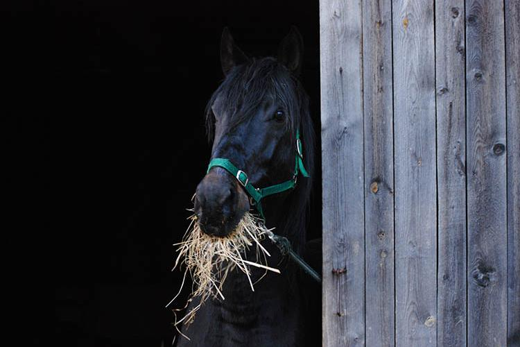 Black stallion eating hay