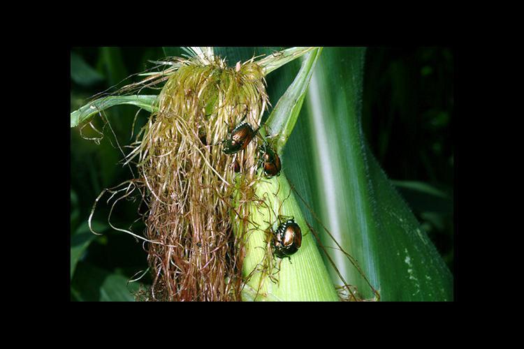 Japanese beetles feeding on corn. Photo by Ric Bessin, UK extension entomologist