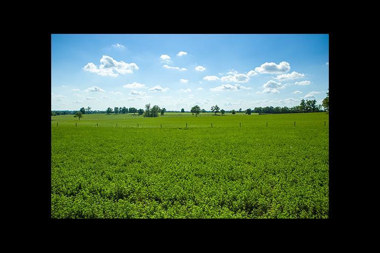 A field of alfalfa in Scott County