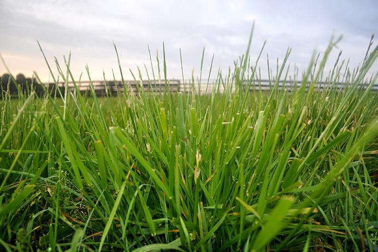 KY-31 has long been a double-edge sword for livestock producers. UK's Novel Tall Fescue Renovation Workshop will teach producers how they can replace it with a novel variety. Photo courtesy of Krista Lea, UK research analyst.