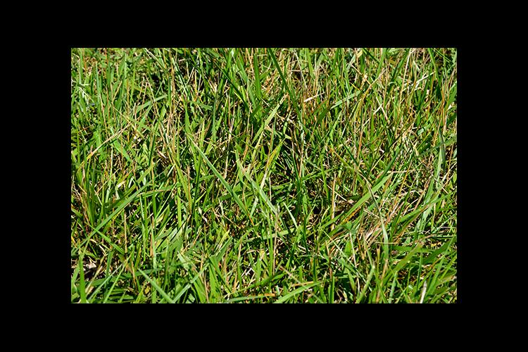 Lacefield MaxQ II is a novel endophyte tall fescue variety developed at UK.
