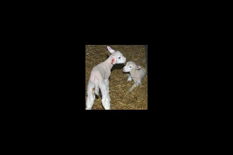 Lambs born in 2002 at the UK Animal Research Center in Woodford County.