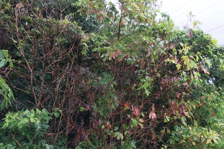 Bush suffering from laurel wilt disease.