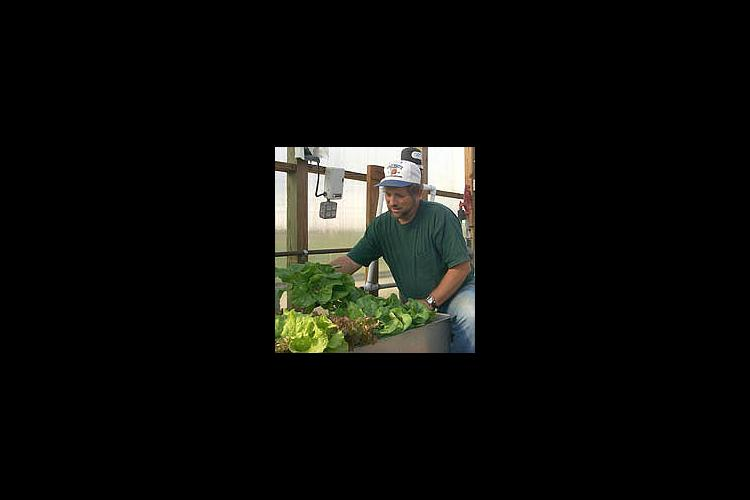Bob Anderson, UK Horticulture Specialist, checks some lettuce in the greenhouse.