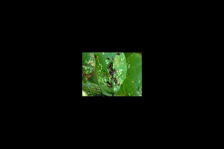 Both the larvae and adult versions of the locust leaf miner cause damage.
