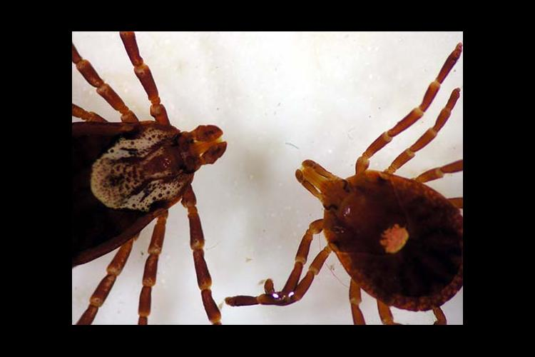 The American dog tick, left, and the lone star tick are most easily identified by their mouths. The lone star tick's is longer.