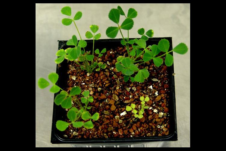 Medicago truncatula plants respond differently to soil bacteria depending on the type and quantity of peptides they produce.