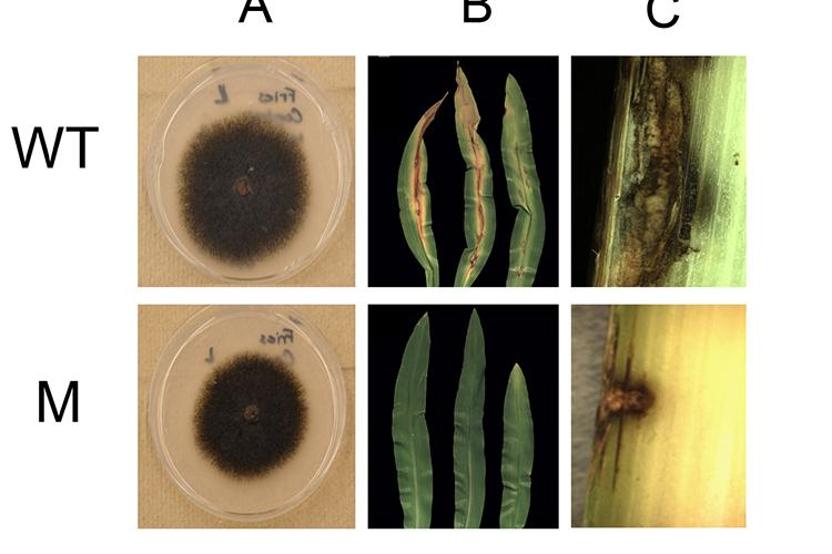 Comparisons of the wild type anthracnose fungal disease (top) and the mutant anthracnose created in Lisa Vaillancourt's lab. Note the mutant does not cause disease in corn leaves or the stalk.  Photo courtesy of Lisa Vaillancourt, UK plant pathologist.