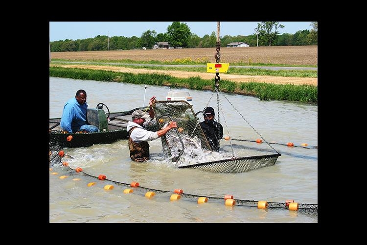 A seining crew loads out live channel catfish in Calloway County.