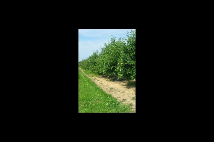 The orchard plots pictured above were treated with residual herbicides while the plots pictured below were not.
