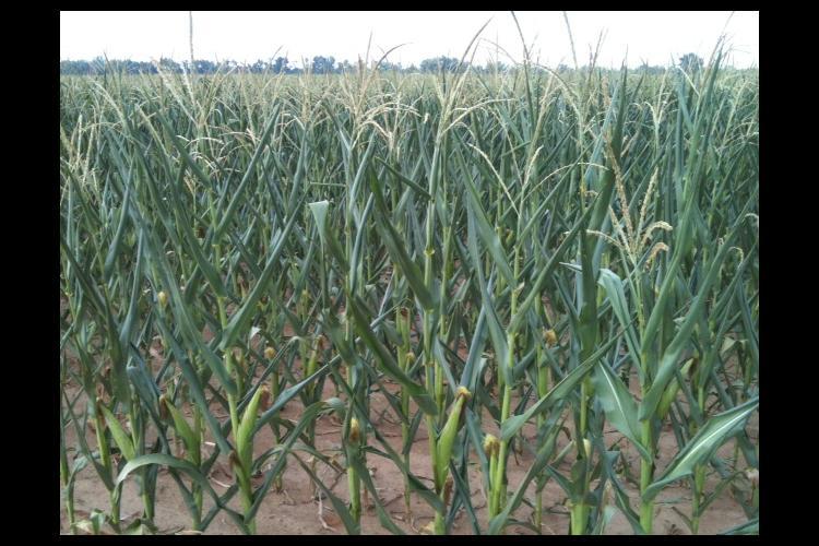 Drought stressed corn