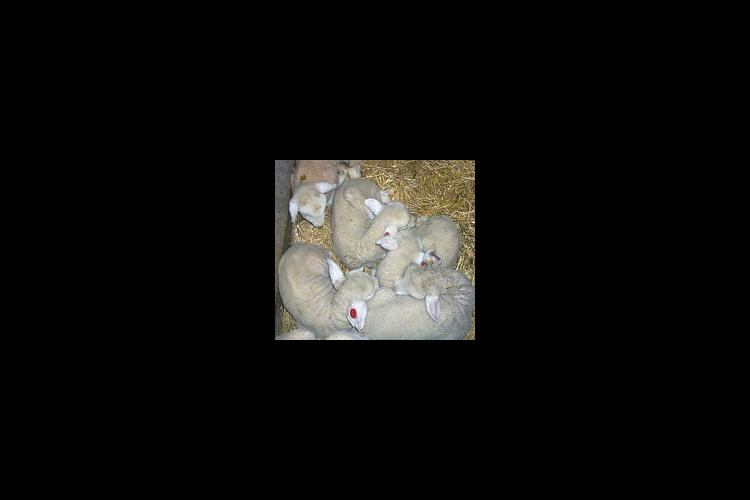 Some of the 1999 lambs born at the UK Animal Research Center near Versailles.