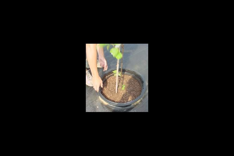 Pot-in-pot production uses a pot permanently installed in the ground and another pot containing the plant is installed inside the permanent pot.