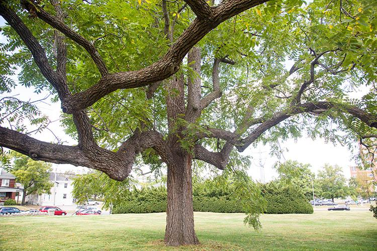 A tree on the University of Kentucky campus in the heart of Lexington, Kentucky.