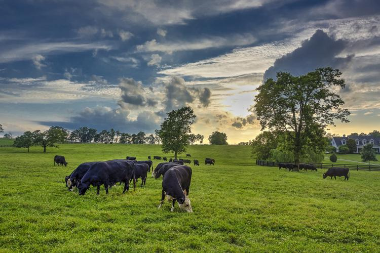 Cows graze on a Central Kentucky farm. Photo by Jimmy Henning, UK extension forage specialist.