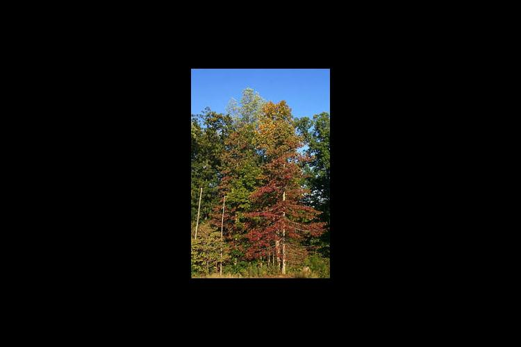 Fall beauty fades when forest fires attack. They can damage the most economically valuable sections of trees.
