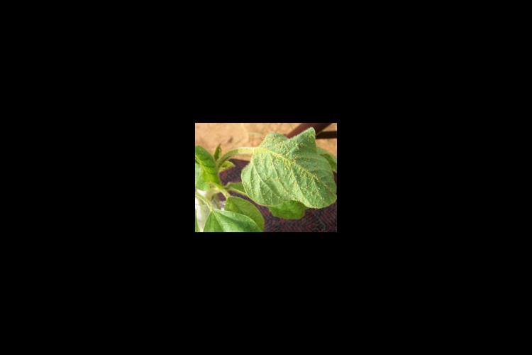 aphids on leaf
