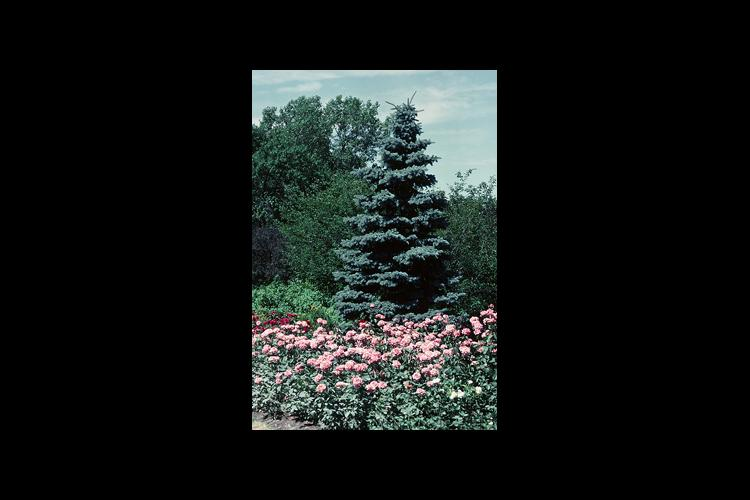 Spruce diseases, disorders appearing in landscape