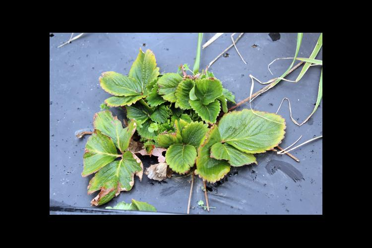 A strawberry planted infected with both viruses.