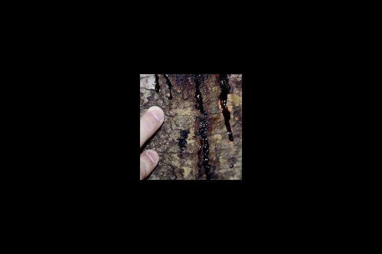 Photos showing symptoms of Sudden Oak Death taken by Joseph O'Brien, USDA Forest Service, www.invasive.org