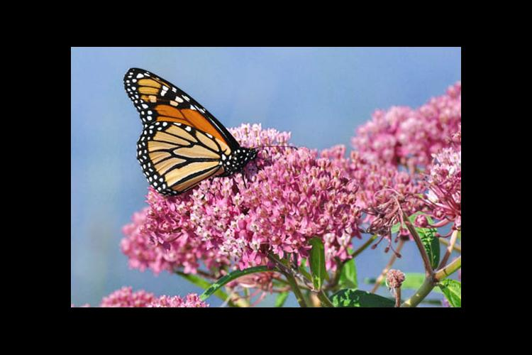 Monarch butterfly nectaring on milkweed