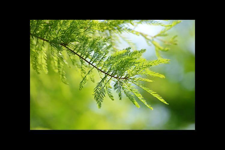 Bald cypress detail
