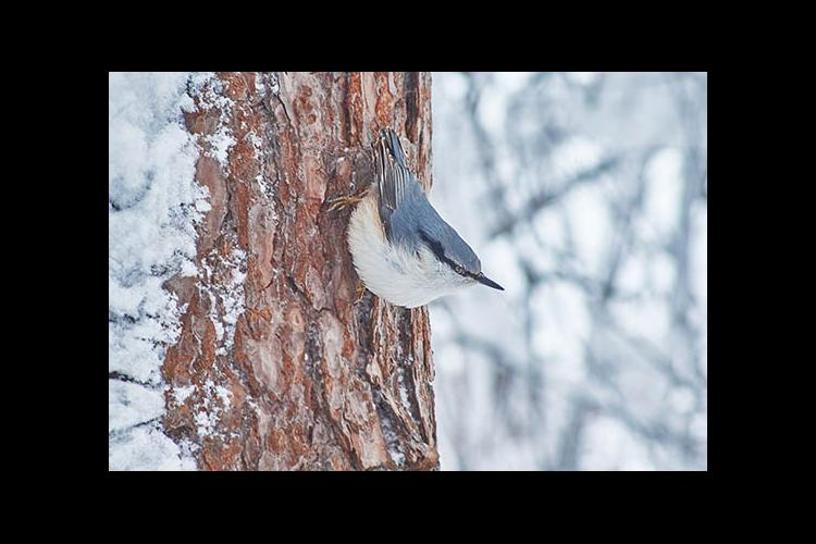 Nuthatches prefer deciduous woodlands.