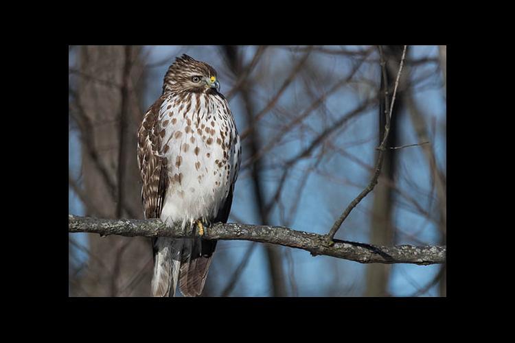 A juvenile hawk