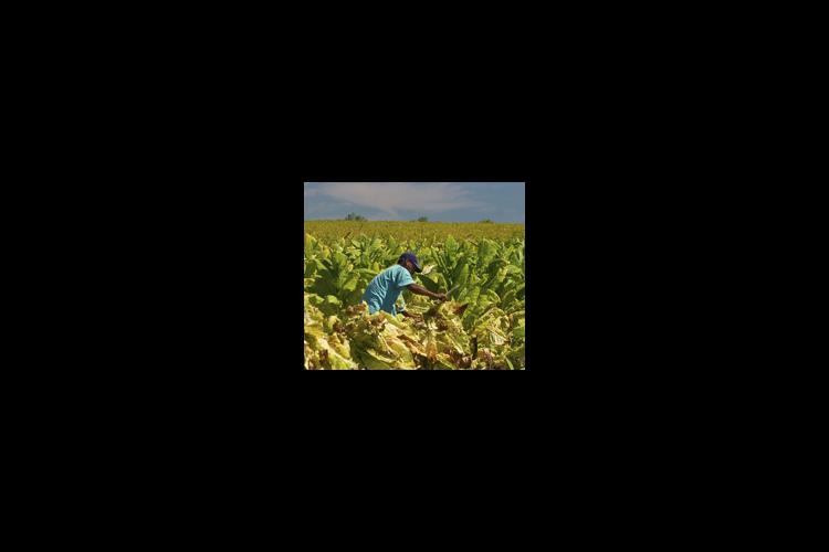 man in tobacco field