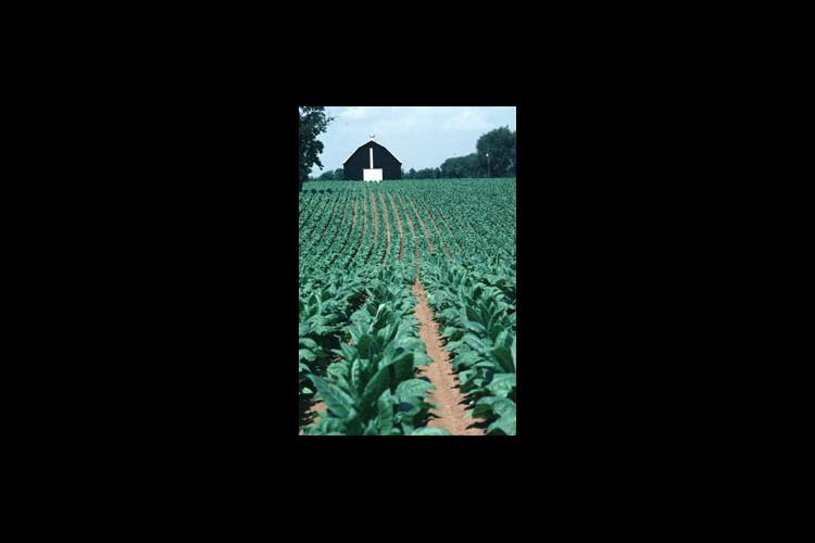 A Jessamine County tobacco crop in July of an average year