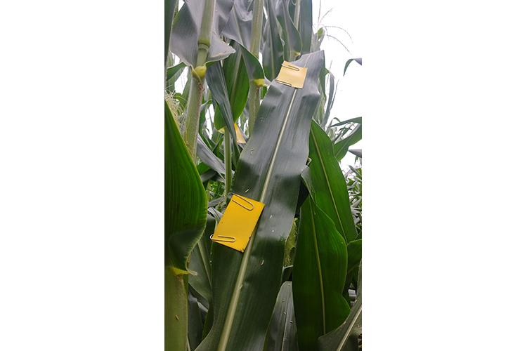 UK plant pathologists use water sensitive cards to show fungicide coverage on different crops like corn. Photo by Kiersten Wise, UK extension plant pathologist.