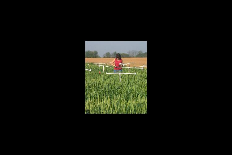 Gaye Stewart, an employee at the UK Research and Education Center in Princeton, checks equipment in a plot where wheat head scab is being studied.