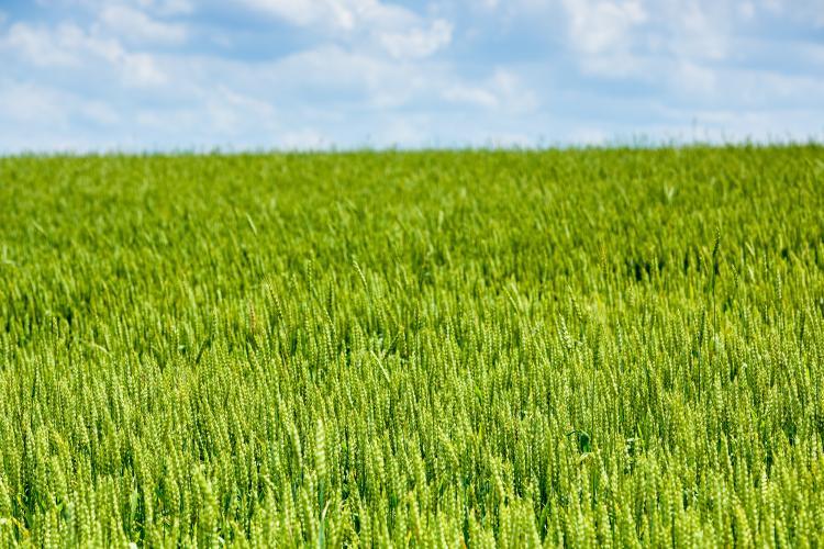 UK to host Virtual Wheat Field Day | News