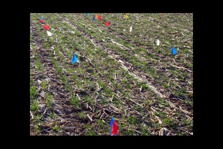Wheat at the UKREC suffered nitrogen losses when the nitrogen was applied to frozen ground in January.