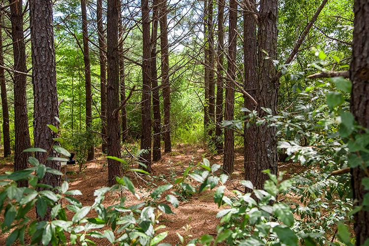 A pine grove in Robinson Forest